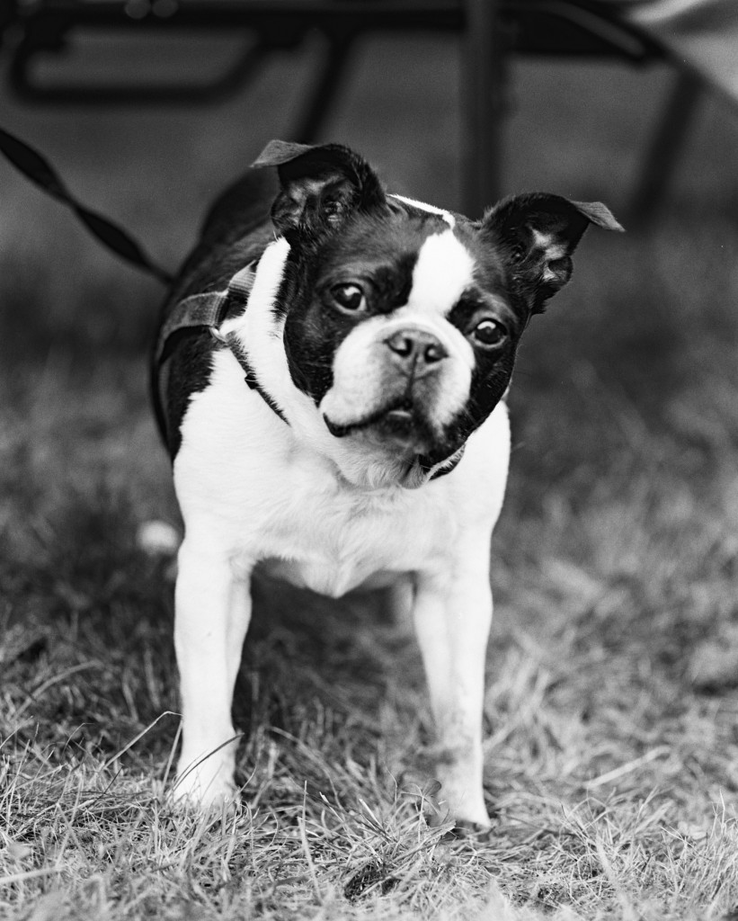 Boston Terrier - Beans - George Rivera Photography